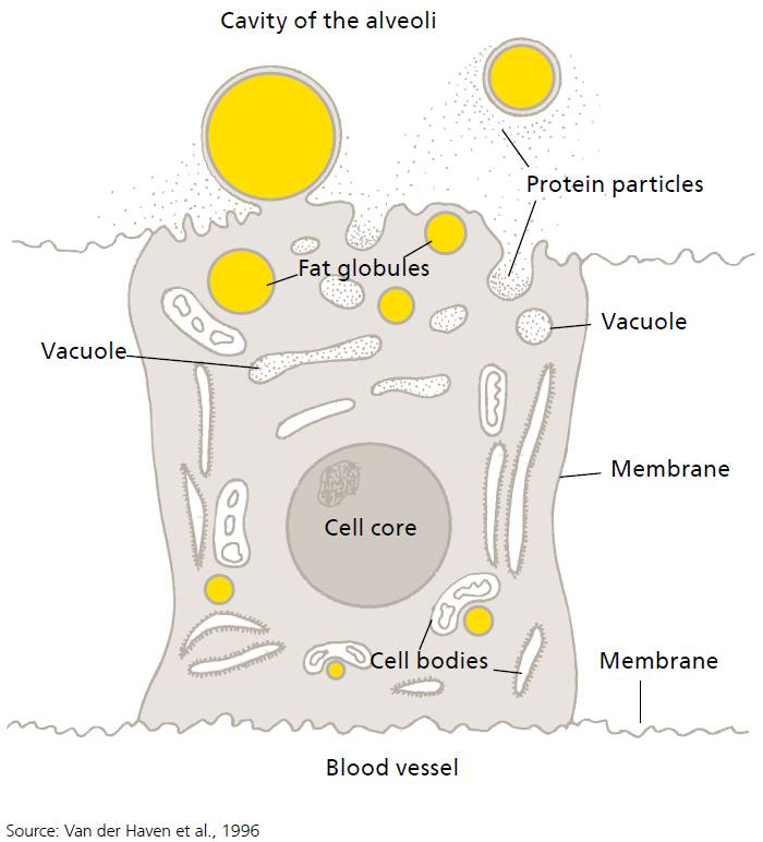 Schematic representation of the exchange of nutrients between blood and milk-producing cells..png